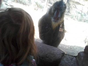 Mandrill! Came right up to us! Did you know their posteriors are rainbow colored, too?